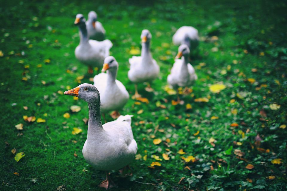 Farm, Meadow, Green, Goose, Geese, Single File, Rural
