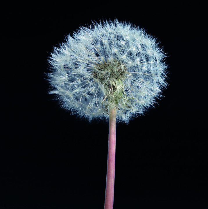Dandelion, Plant, Single, Flower, Nature, Background