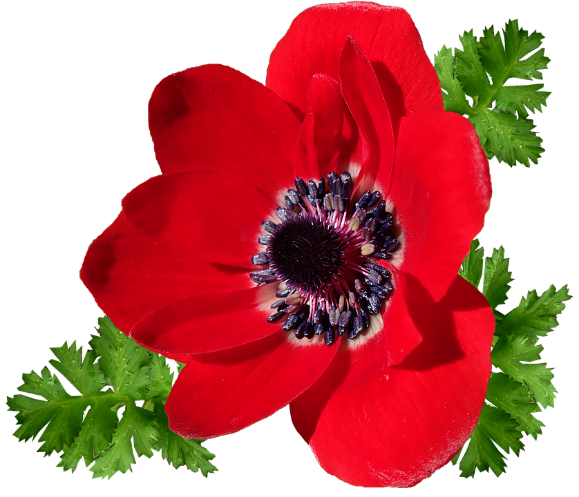 Anemone, Red, Single Flower, Garden, Nature, Cut Out