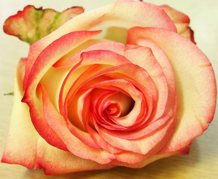 Rose, White Pink, Schnittblume, Single Flower