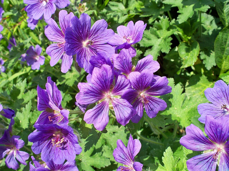 Blue Geranium, Perennial Geranium, Purple, Single-petal