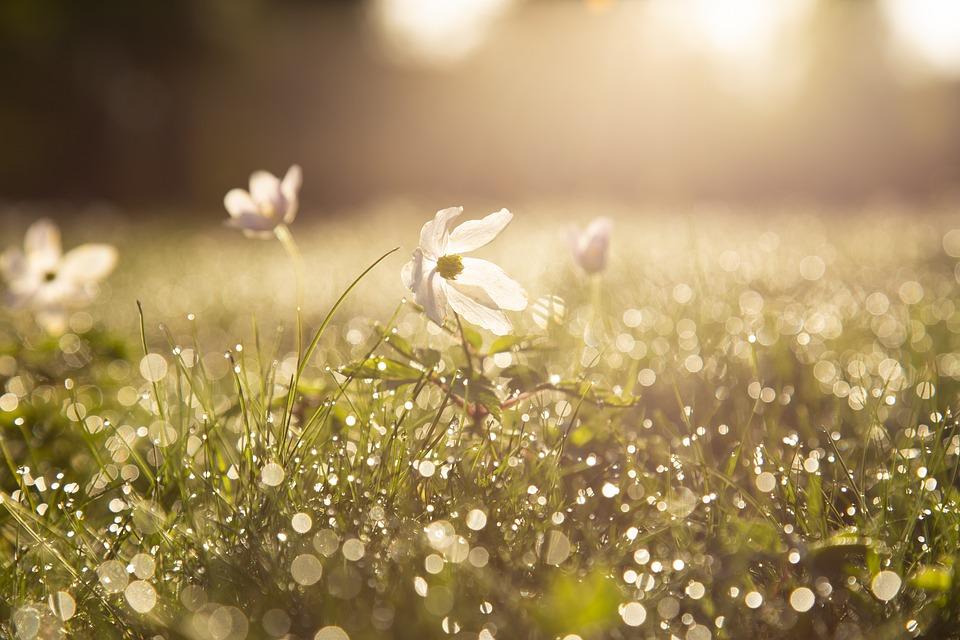 Morning, Sip, Wood Anemone, Flower, Dawn, Light, Spring