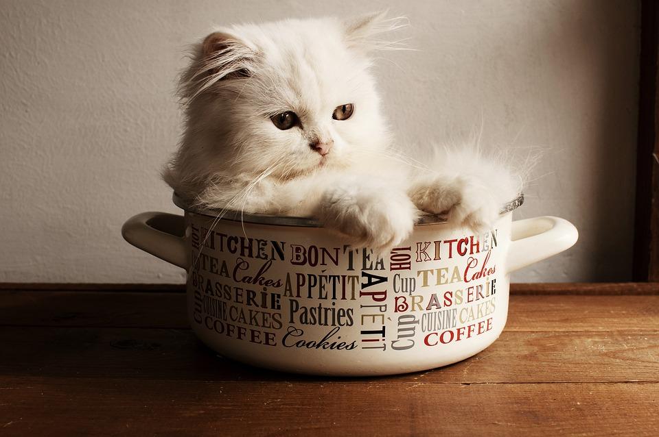 Cute, Little, Cat, Fur, Sit, Kitten, Domestic, Indoors