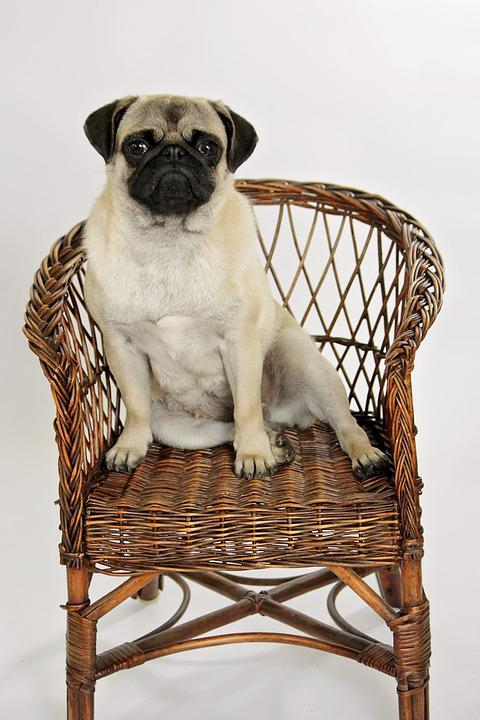 Cute, Animal Kingdom, Dog, Sit, No Person, Chair, Pug