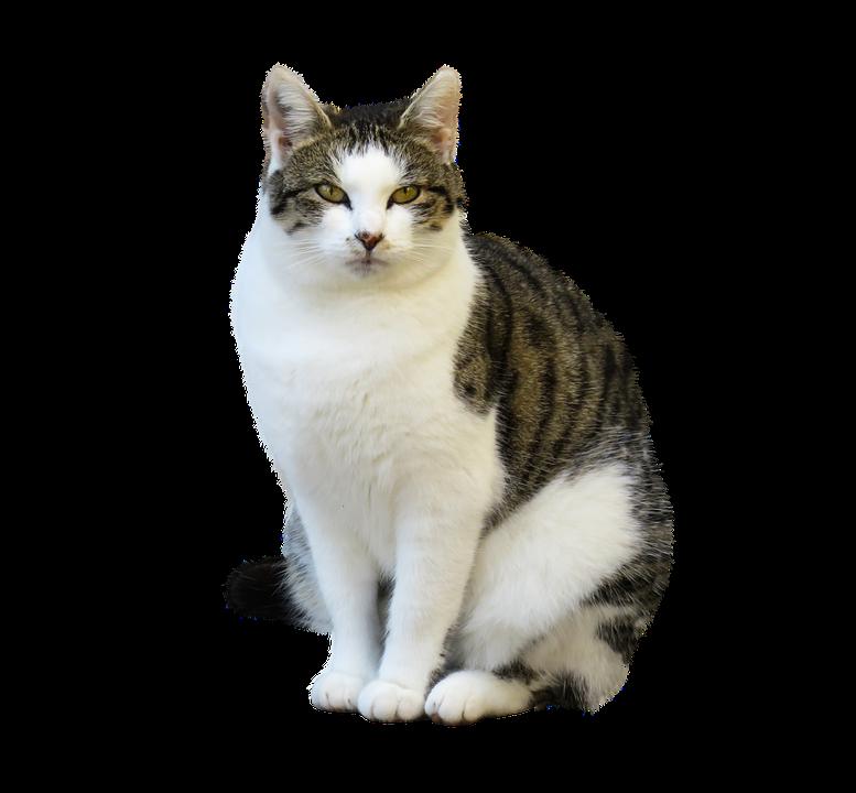 Animal, Cat, Pet, Isolated, Sit, Wait