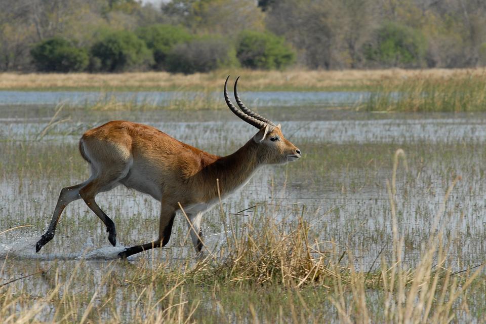 Marsh Antelope, Botswana, Moremi, Sitatunga