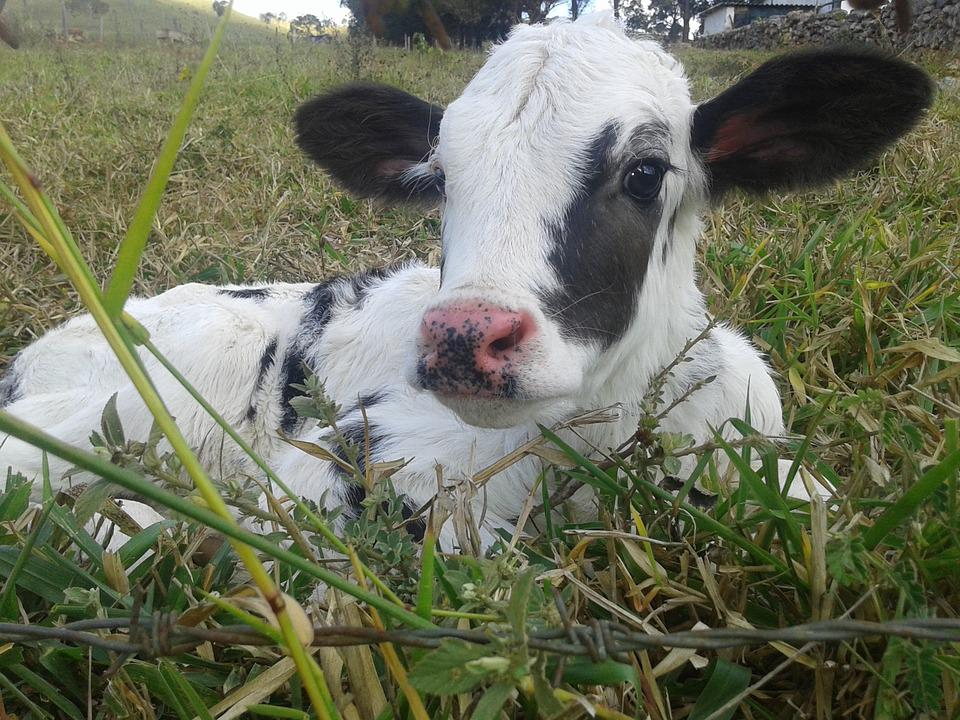 Farm, Cattle, Animal, Puppy, Veal, Cow, Calf, Site