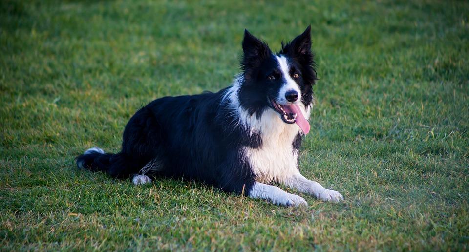 Border Collie, Sitting Dog, Grass, Dog On Grass