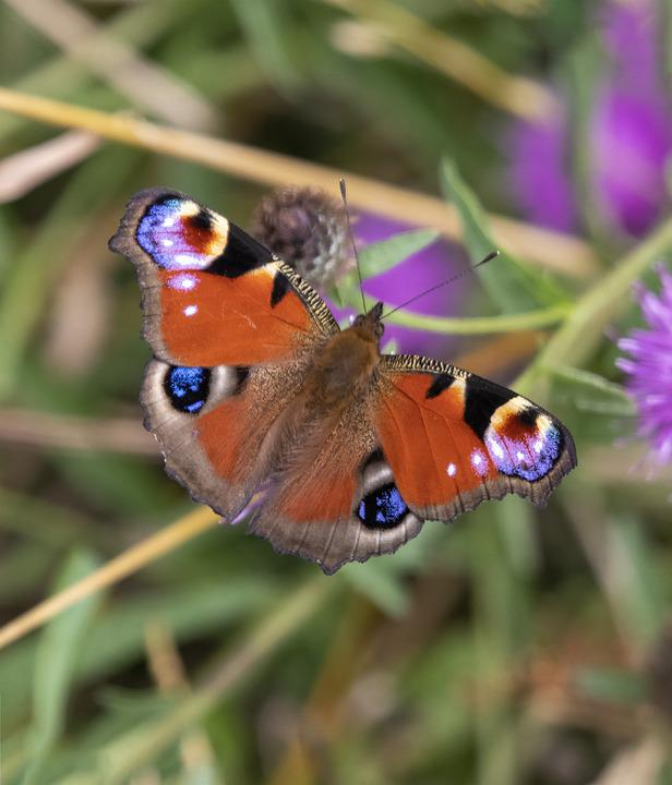 Butterfly, Pattern, Wings, Sitting, Grass, Insect
