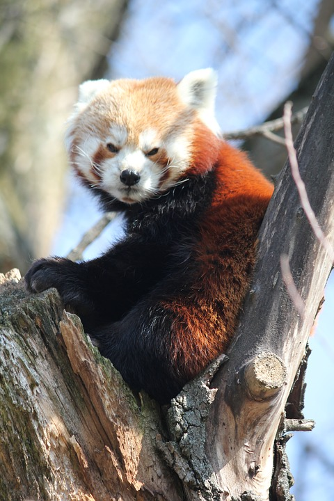 Red Panda, Tree, Animal, Sitting, Zoo, Peace