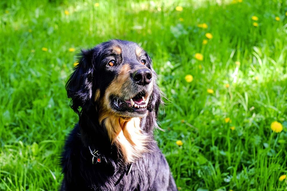 Dog, Hovawart, Schwarzmarkener, Sitting, Attention
