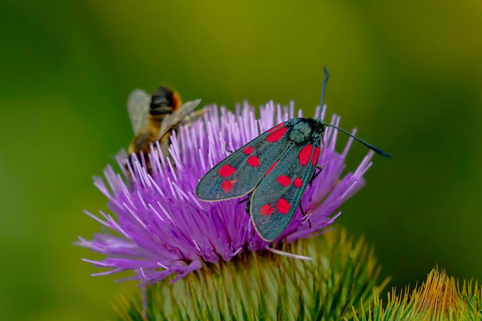 Nature, Insect, Butterfly, Six Moth, Close