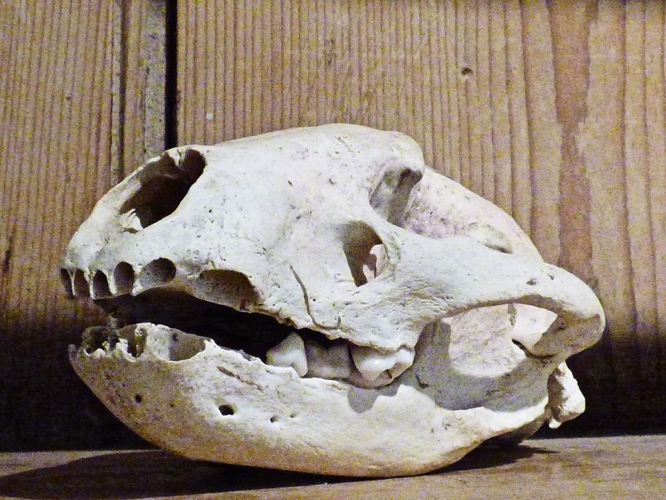 Skull, Animal, Skeleton, Dead, Wildlife, Trophy