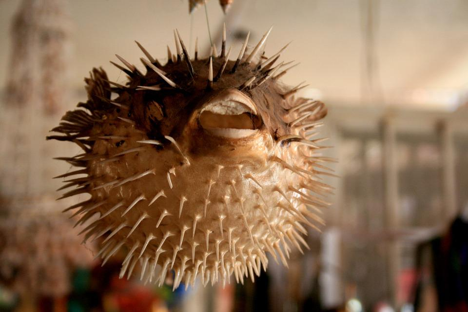 Puffer Fish, Mexico, Crafts, Dissected, Skeleton