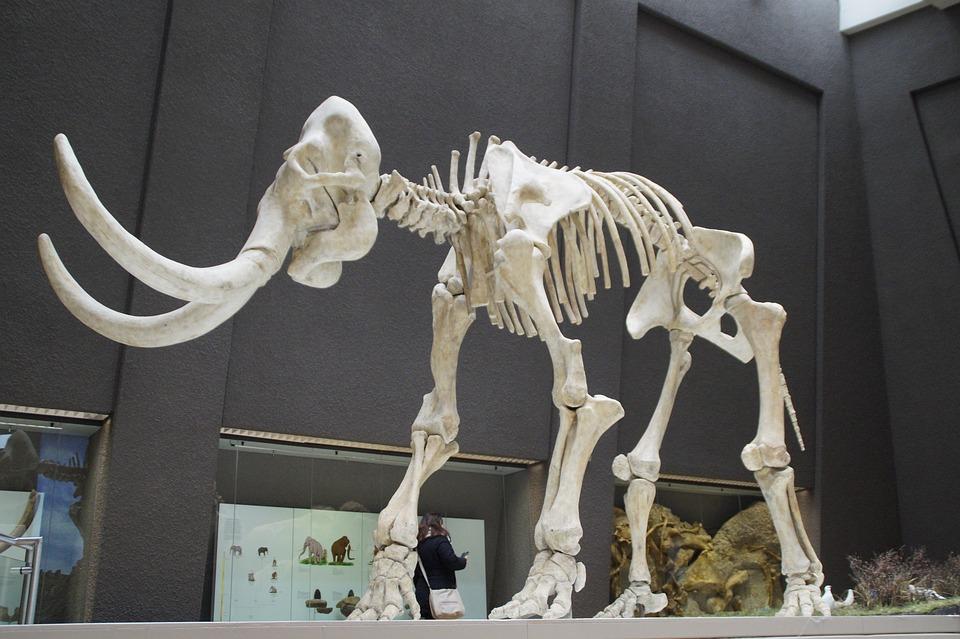 Mammoth, Skeleton, Museum, Exhibit, Mammal, Tusks