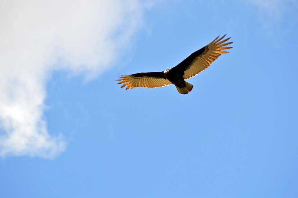 Bird, Flying, Skies, Buzzard