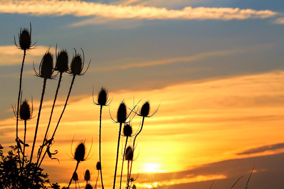 Wild Teasel, Sunrise, Morgenrot, Skies, Dawn, Sun