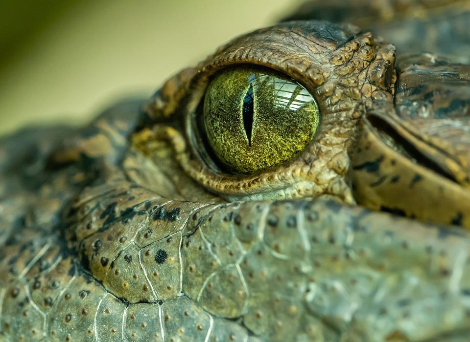 Crocodile, Eye, Detail, Portrait, Skin, Reptile
