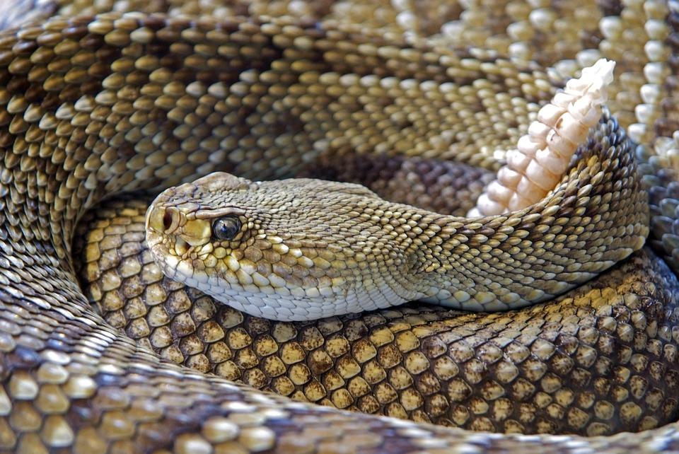 Snake, Rattlesnake, Reptile, Skin, Venom, Sting, Animal