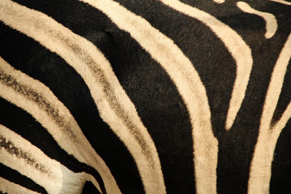 Zebra, Skin, Pattern, Close, Stripes, Striped, Texture