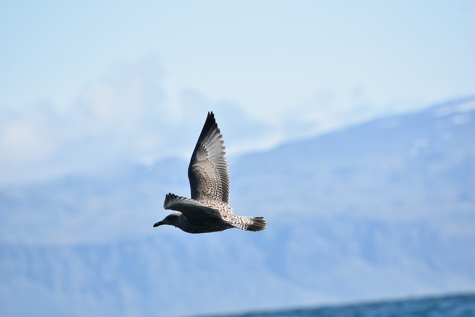 Skua, Birds In Flight, Nature