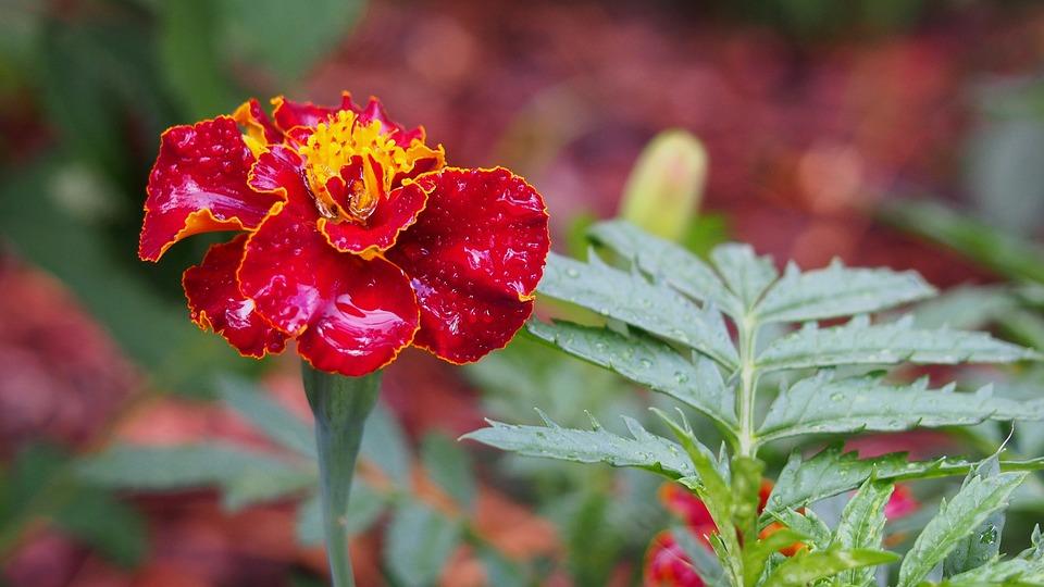 Marigold, Flower, Blooms, Macro, Skunk, Rosa, Nature