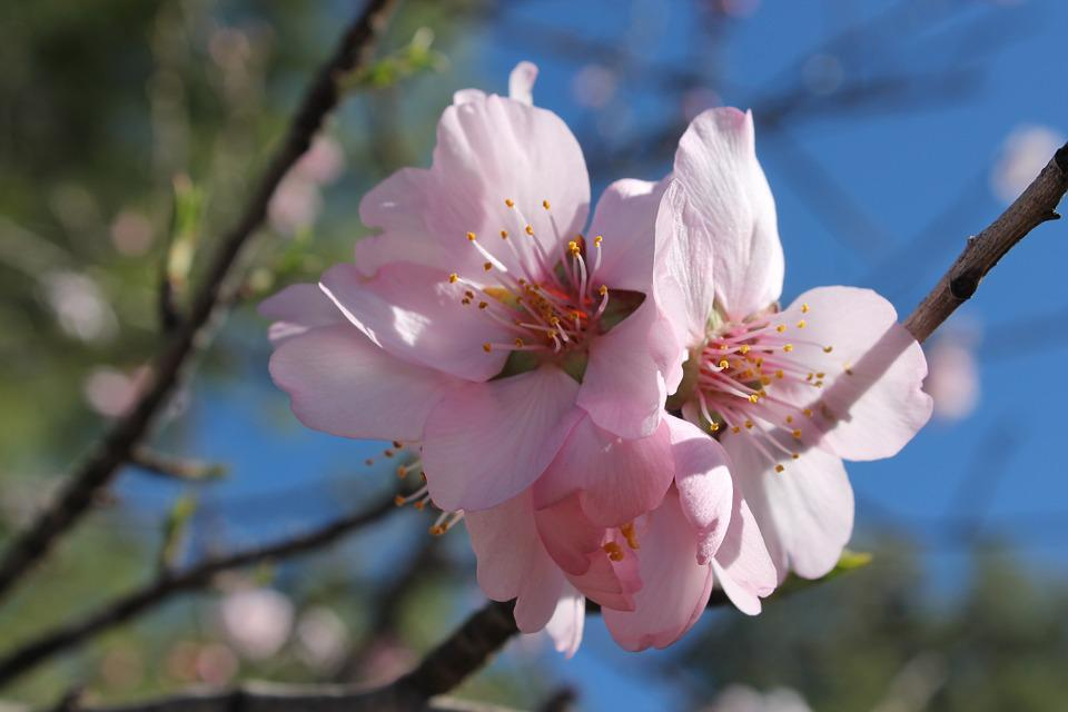 Almond Flower, Flowering, Pollen, Insects, Sky, Field