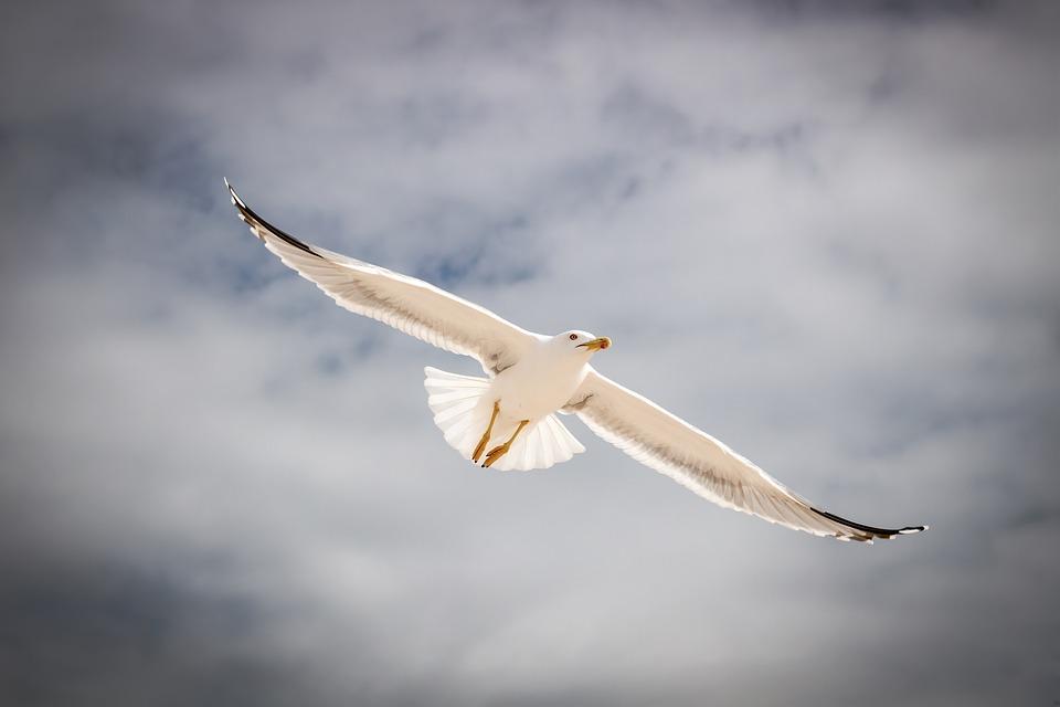 Seagull, Flying, Dark, Sky, Flight, Animal, Bird, Wing