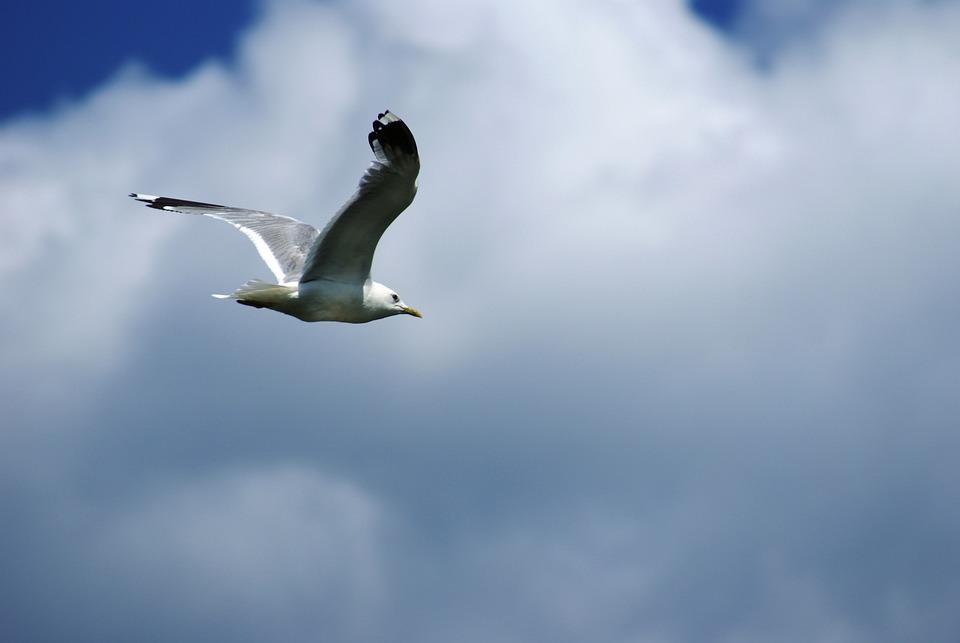 Nature, Animal, Bird, Seagull, Fly, Freedom, Sky, White