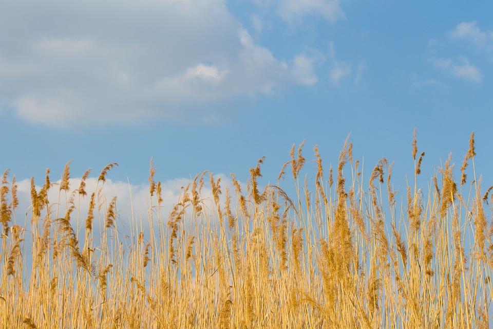 Reed, Cloud, Sky, Aquatic Plant, Landscape, Lakeside