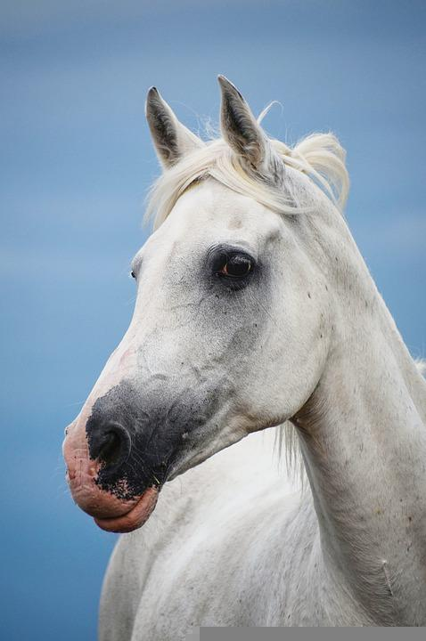 Horse, Arabs, Mare, Mold, White, Sky