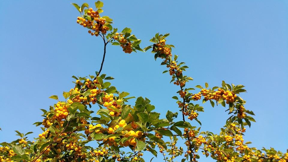 Autumn Beginning, Autumn, Sky, Branch, Apple, Yellow