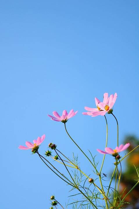 Cosmos, Flowers, Nature, Autumn, Seasonal, Sky, Blue