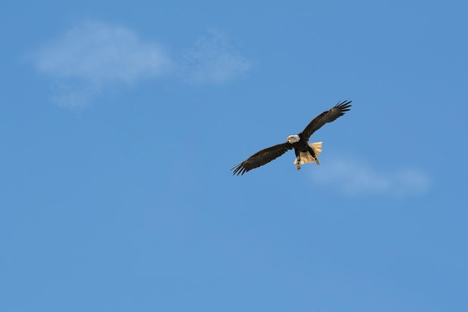 Bird, Sky, Flight, Nature, Bird Of Prey, Bald Eagles