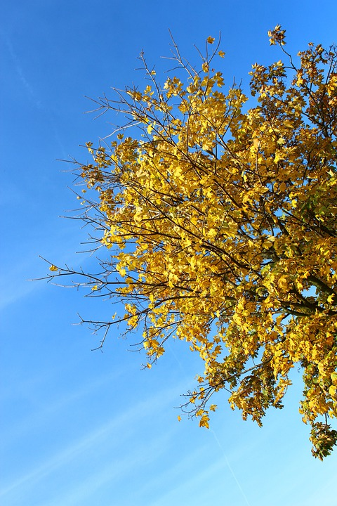 Tree, Autumn, Leaves, Yellow, Sky, Blue, Fall Color