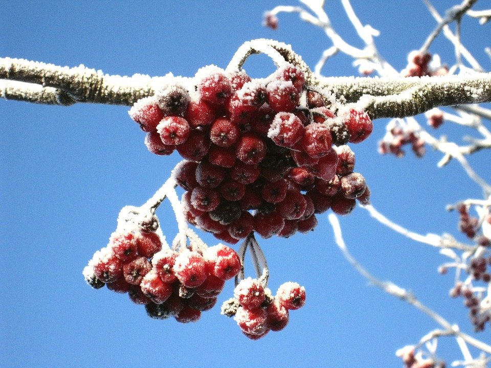 Winter, Rowan Berries, Red, Blue, Sky Blue, Frozen