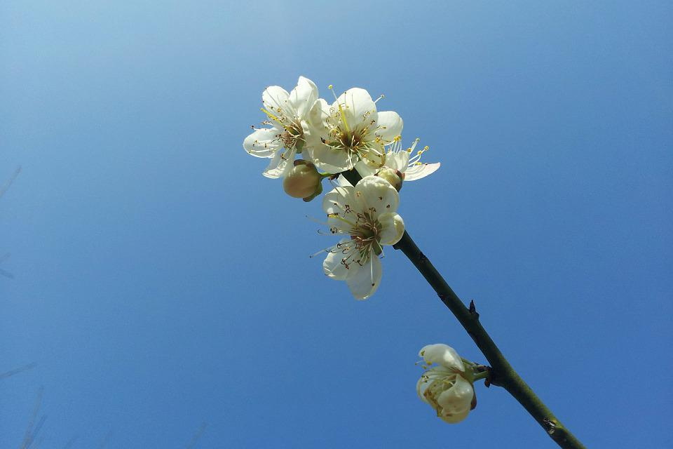 Plum Blossom, Blue Sky, Simple, Fresh, Sky Blue, Flower