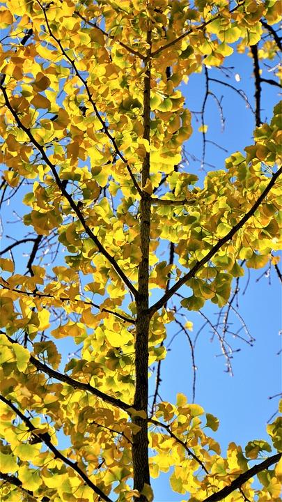 Ginkgo Tree, Sky, Blue, Autumn, Yellow, Leaves, Tree