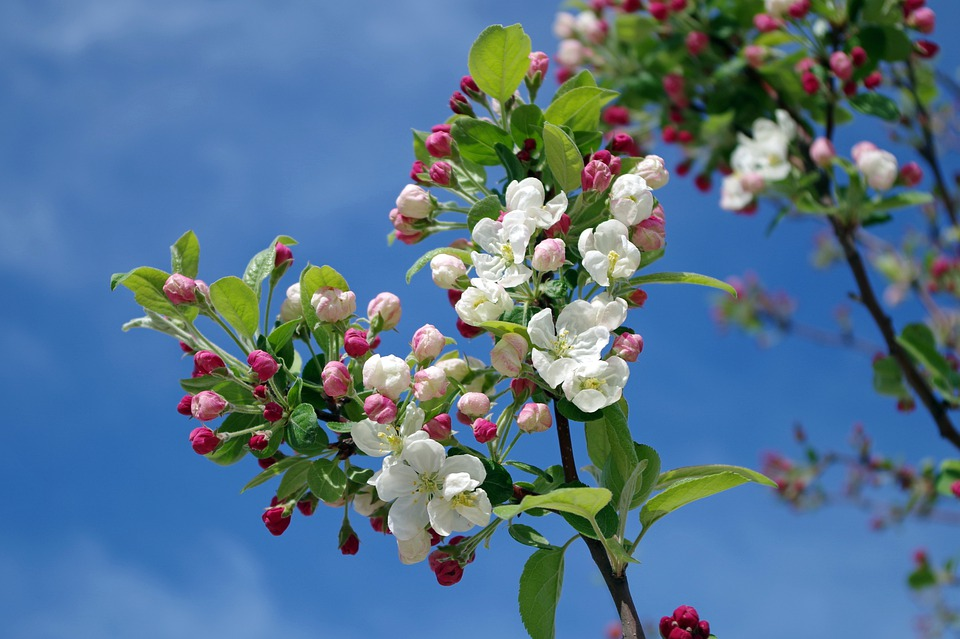 Apple Blossom, Tree, Branch, Spring, Summer, Sky