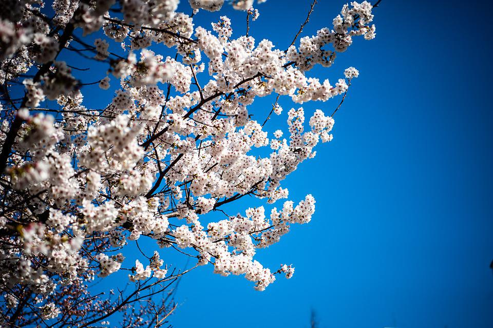Cherry Blossom, Flowers, Sky, Branches, White Flowers