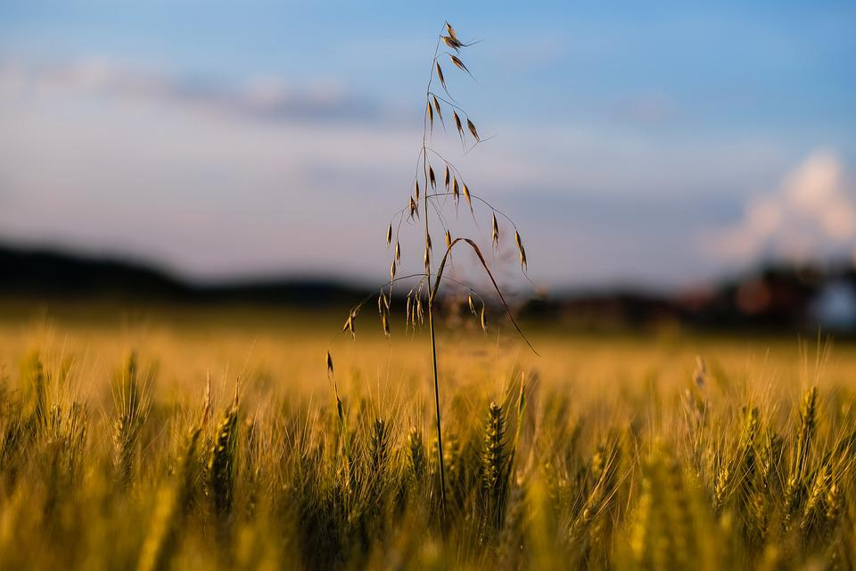 Field, Cereals, Wheat, Nature, Grass, Harvest, Sky