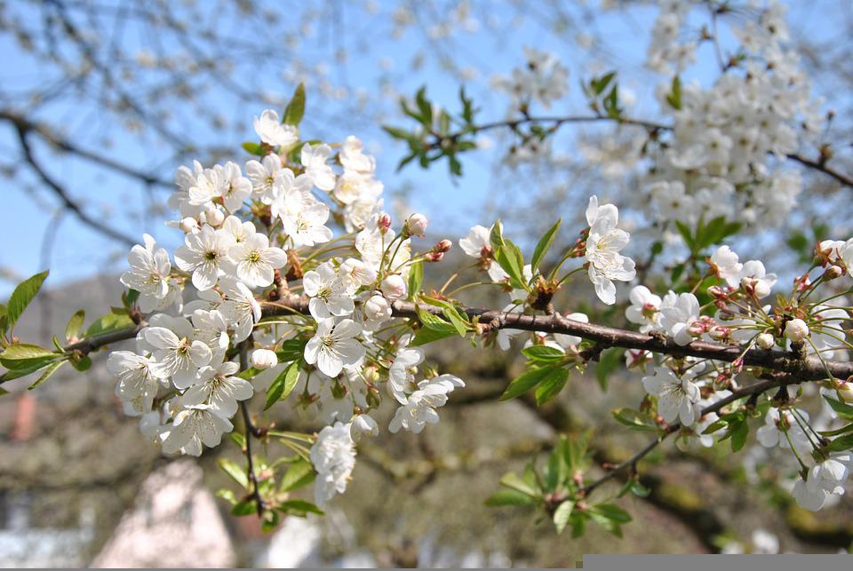 Cherry, Blossom, Bloom, Tree, Garden, Sky, Plant, Smell