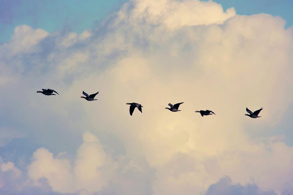 Bird Migration, Geese, Flying, Sky, Clouds, Together
