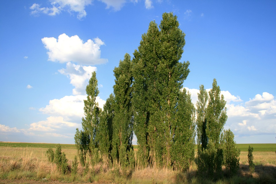 Trees, Green, Lombardi Poplar, Dry Veld, Sky, Clouds