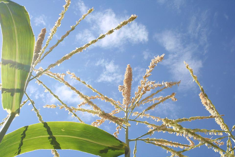 Corn, Cornstalk, Cornfield, Sky, Plant, Maize, Yellow