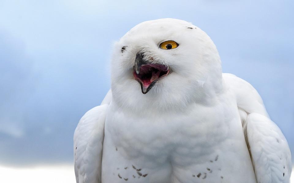 Snowy Owl, Bird, Raptor, Animal, Owl, Cry, Sky