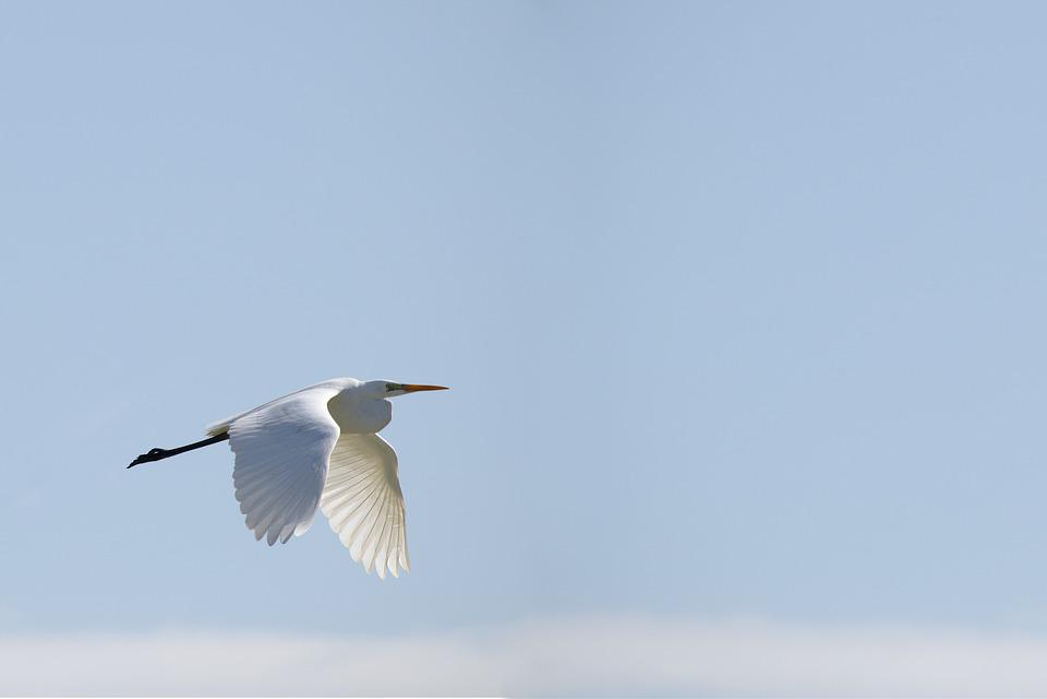 Bird, Sky, Egret