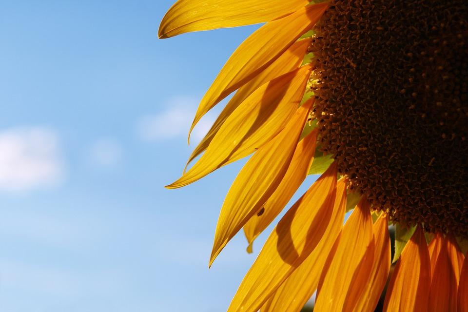 Sunflower, Sky, Flower, Yellow, Summer, Agriculture