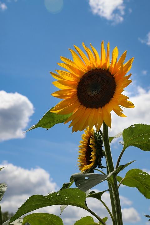Sunflower, Flower, Clouds, Sky, Yellow