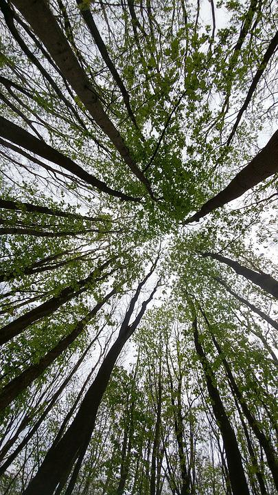 Tree, Forest, Sky, Looking Up, Size, Green, Tree Trunks